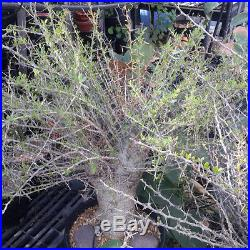 Fouquieria (Idria) columnaris Baja Boojum Tree Huge Trunk Succulent Plant 50