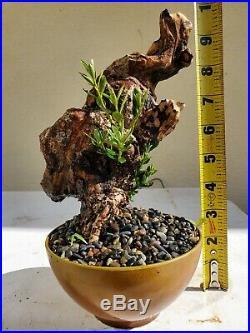 Fruiting Olive Tree, Bonsai Tree, SALE