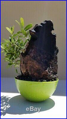 Fruitless Olive Tree, Bonsai Tree, SALE