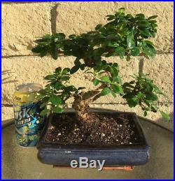Fujian (Fukien) Tea Blooming Bonsai Tree S Curved Trunk Indoor/Outdoor