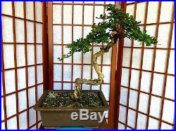 Fukien Tea Blooming Bonsai Tree 1 1/4 Literati Style Trunk Indoor/Outdoor