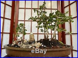 Fukien Tea Blooming Bonsai Tree Forest Style Indoor/Outdoor