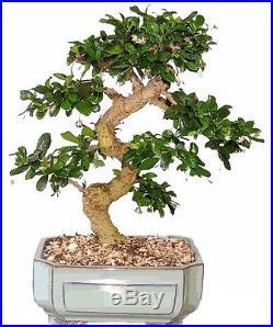 Fukien Tea Bonsai Tree GREAT GIFT! LIVE TREE Flowers
