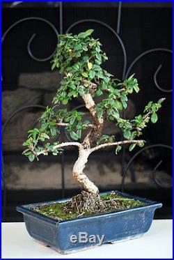 Fukien Tea Bonsai with 6 Ceramic Pot Little Tree Blossoms Little Fruits