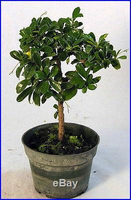 Fukien Tea' Pre Bonsai Tree Carmona 4 Pot Indoors