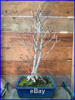Gingko Biloba 'Chi-Chi' Bonsai (Twin Trunk!) Maidenhair Tree