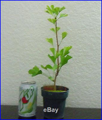 Gingko biloba tree for shohin mame bonsai chi chi small leaves multiple list