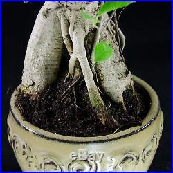 Ginseng Ficus Shohin Bonsai Tree Ficus Microcarpa # 8881_1