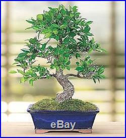 Golden Gate Ficus 10 Year Specimen Bonsai Tree in Ceramic Planter-Feng Shui Gift