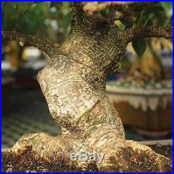 Golden Gate Ficus Bonsai Tree Plant Indoor Home or Office 15 years old 16 inches