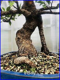 Golden Gate Ficus Indoor Bonsai Tree