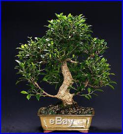 Golden Gate Ficus Indoor Bonsai Tree Tropical Import Bonsa Tree GGF2007