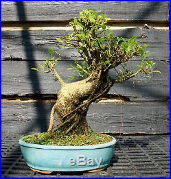 Golden Gate Ficus Indoor Bonsai Tree Tropical Import GGF-807D