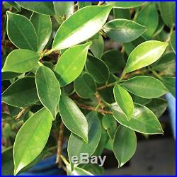 Golden Gate Ficus indoor Bonsai Tree Medium Tropical Live Plant Gift Idea