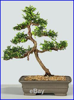 Golden Hinoki Cypress