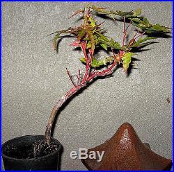 Grafted Japanese Maple (F Jellheim) Bonsai Starter Plant
