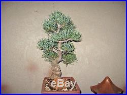 Grafted Japanese White Pine Bonsai (Miyajima goyo)