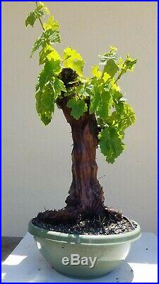 Grape Vine (Vanessa)Bonsai Tree (Fruit Tree), Sale