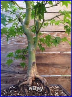Green Japanese Maple Bonsai Specimen