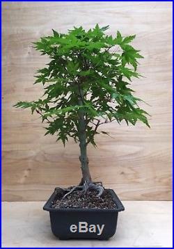 Green Japanese Maple Bonsai Tree Momiji Beautiful Red & Yellow Fall Color Nebari