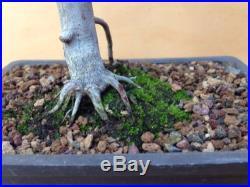 Green Japanese Maple Pre Bonsai Tree Acer Palmatum Thick Trunk Shohin Nebari