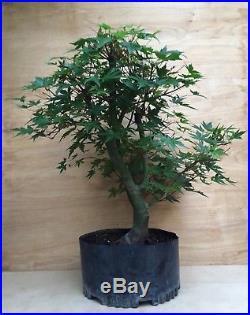 Green Japanese Maple Pre Bonsai Tree Big Thick Twin Trunk Specimen Momiji Sokan