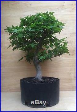 Green Japanese Maple SPECIMEN BONSAI Tree Big Thick HUGE Trunk Momiji Nebari