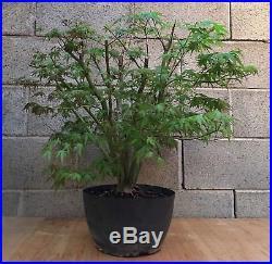 Green Japanese Maple Specimen Huge ELEVEN Trunks Bonsai Tree Momiji Nebari HTF