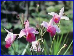 HAWAIIAN TROPICAL BAMBOO ORCHID PLANT 10 ROOTED BULBS