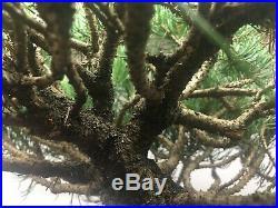 HTF Dwarf'Mops' Mugo Pine Evergreen Pre Bonsai Tree True Dwarf BIG Thick Trunk