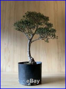 HTF Dwarf Olive Bonsai Tree Thick Trunk Evergreen Gray Kifu Olea
