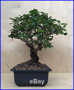 HTF Rare Old Rose Flowering Bonsai Tree Big Huge Thick Trunk Shohin Specimen
