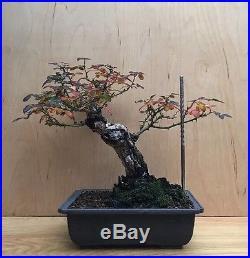 HTF Rare Old Rose Flowering Pre Bonsai Tree Big Huge Thick Trunk Shohin Specimen