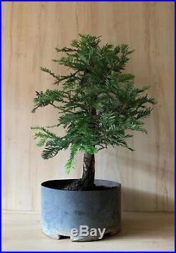 HTF Specimen Aptos Blue Redwood Bonsai Tree BiIG Thick Barky Trunk Evergreen