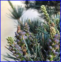 HTF True Dwarf Nana Japanese White Pine Pre Bonsai Big Thick Evergreen 5 Needle