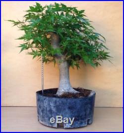 HUGE Green Japanese Maple Bonsai Tree Trunk Nice Movement Buttress Shohin Kifu