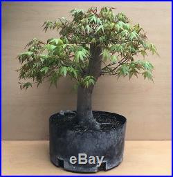 HUGE Japanese Green Maple Bonsai Tree Big Thick Trunk Kifu Nebari Specimen