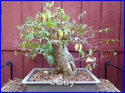Hackberry Bonsai Specimen Celtis laevigata