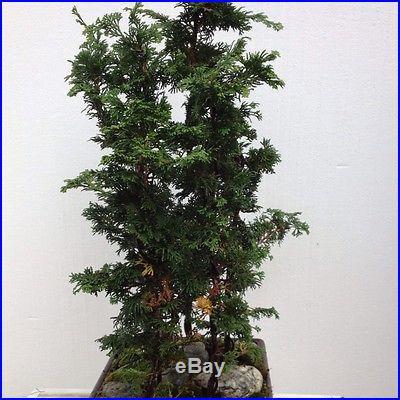 Hanoki forest. Bonsai 5 trees. 2' tall plastic bonsai pot