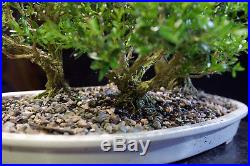 Harland Boxwood Bonsai 5 Tree Forest Planting Outdoor/Indoor HB5G-717A