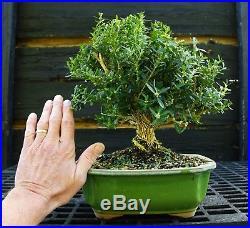 Harlandi Boxwood Bonsai Tree HB-1029I