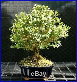 Harlandi Boxwood Bonsai Tree HB-128A