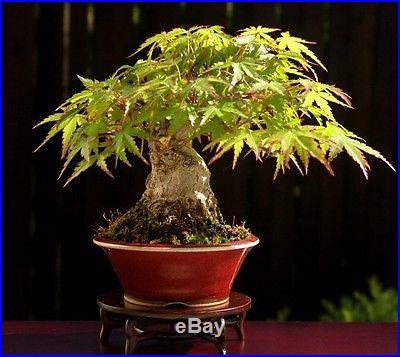 Heirloom 10 Seeds Japanese Red Maple Acer palmatum Bonsai Tree Seeds