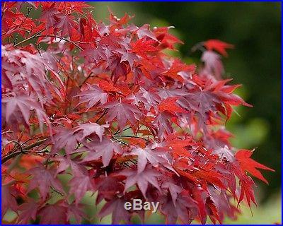 Heirloom 10 Seeds Japanese Red Maple Bonsai Tree Seeds