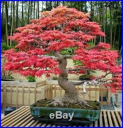 Heirloom 10 Seeds Red maple Scarlet maple Acer rubrum Bonsai Tree Shrub Seeds
