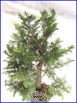 Hinoki Cypress Gracilis Pre Bonsai 24 Tall