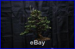 Hinoki cypress Sekka bonsai tree