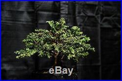 Hinoki cypress Sekka bonsai tree shohin bonsai tree