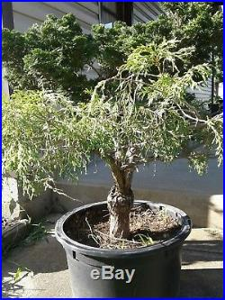 Hinoki doble graft bonsai material