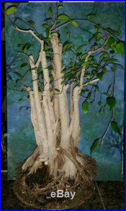 Huge Beautiful Pre Bonsai FICUS BENJAMINA Tree Large Trunks & Nebari